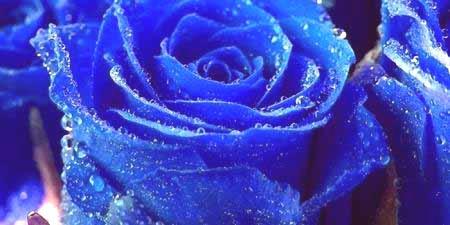 37c013885ace1f Po selekcji naukowcy wyjęli różę niebieskiego i stali się symbolem snów.  Daje się tajemniczym, ale optymistycznym ludziom, nie traci wiary w  świetlaną ...