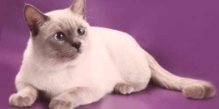 Thajská mačka s náležitou liečbou 0a4852cd6d8