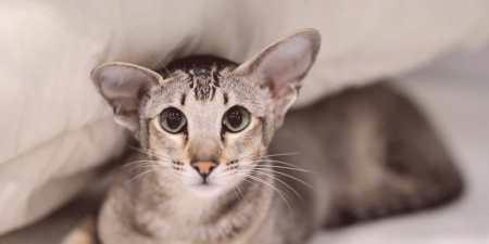 Oriental Cat - História vzhľadu druhu 5e549e38700