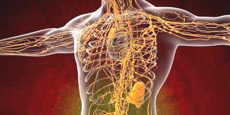 Slikovni rezultat za limfni sustav anatomija